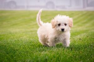 小さな白い子犬