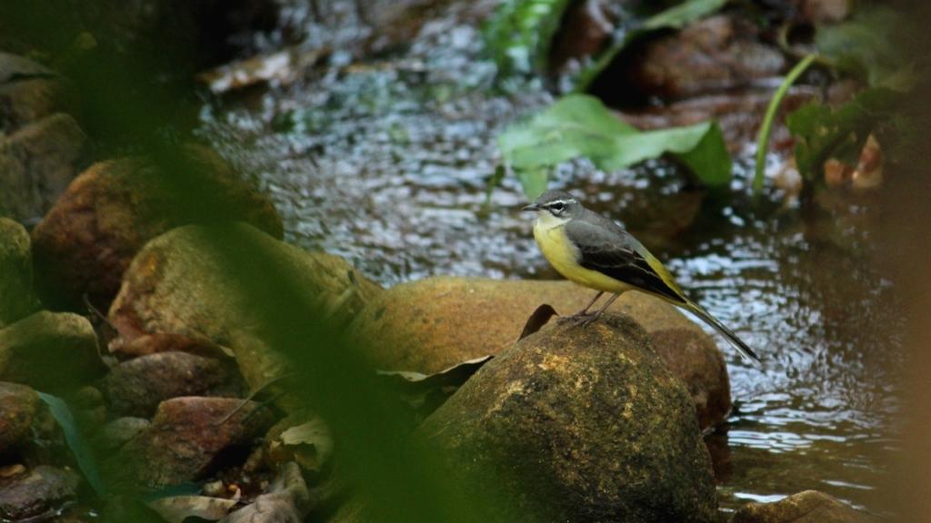 水辺の鳥 セキレイ