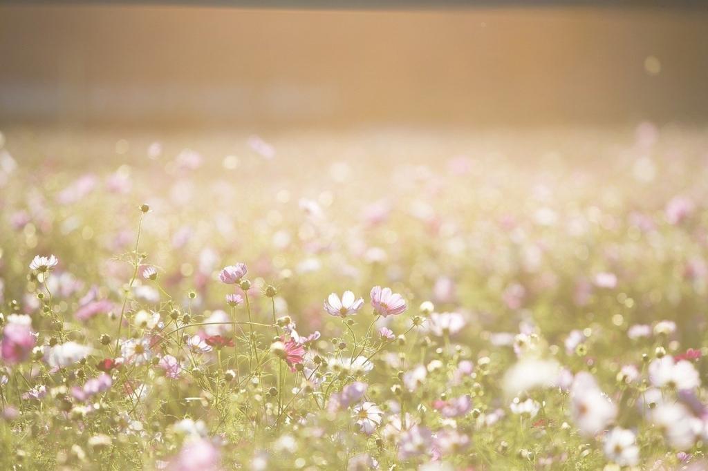 草原のコスモス